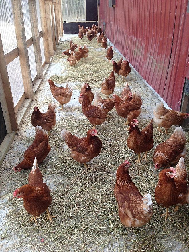 Kanat talvipuutarhassa.